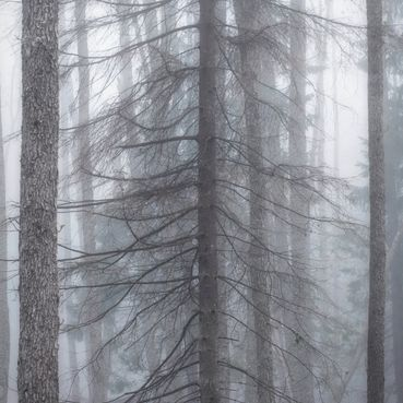 Fir in fog